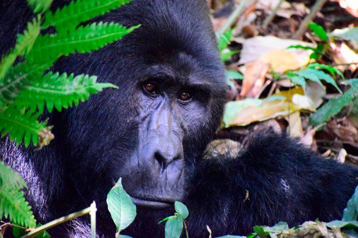 Uganda y Ruanda – La Ruta de los Gorilas